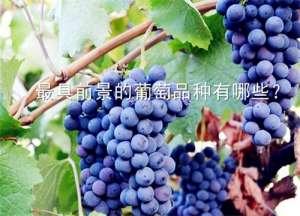 现在最具前景的葡萄品种有哪些?